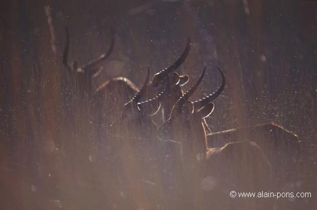 Cobes lechwe (Kobus leche smithemani) Okavango - Botswana