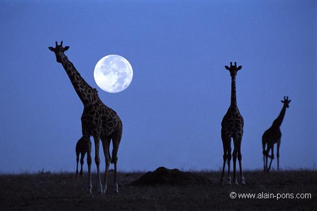 Girafes sous la lune (Giraffa camelopardalis) - Masaï Mara - Kenya; camélidés