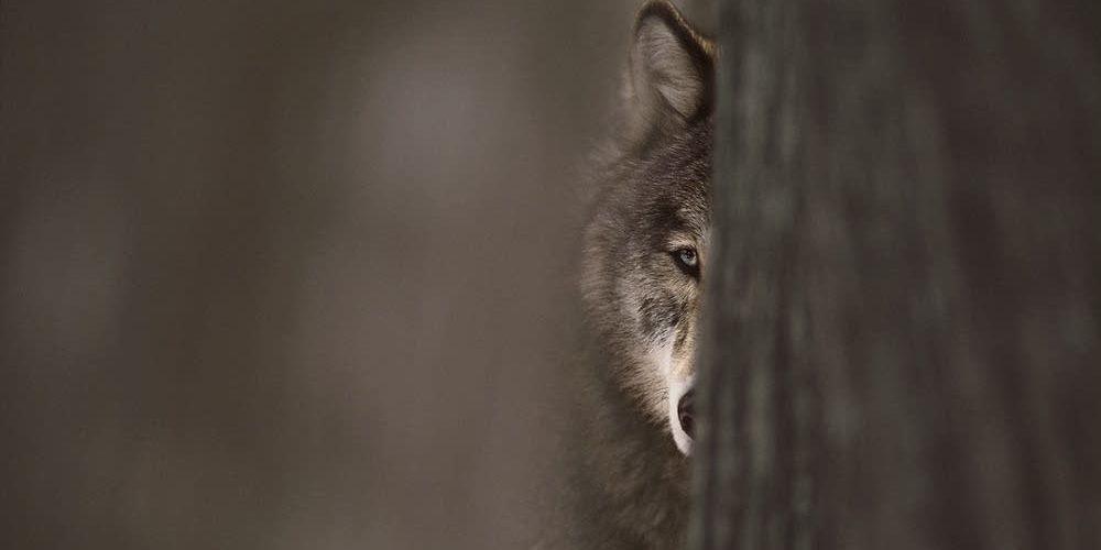 0ea050-20150225-graywolf2