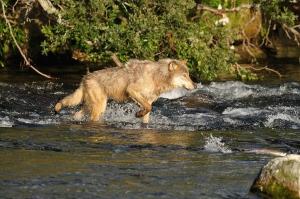 Loup à la pêche