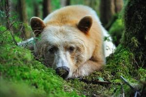 Portrait d'ours kermode couché dans la forêt pluvieuse de Colombie britannique