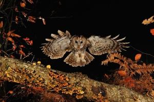 Chouette hulotte de face au vol en forêt