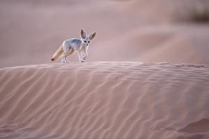 Sahara; Le fennec adultes chasse dans les dunes
