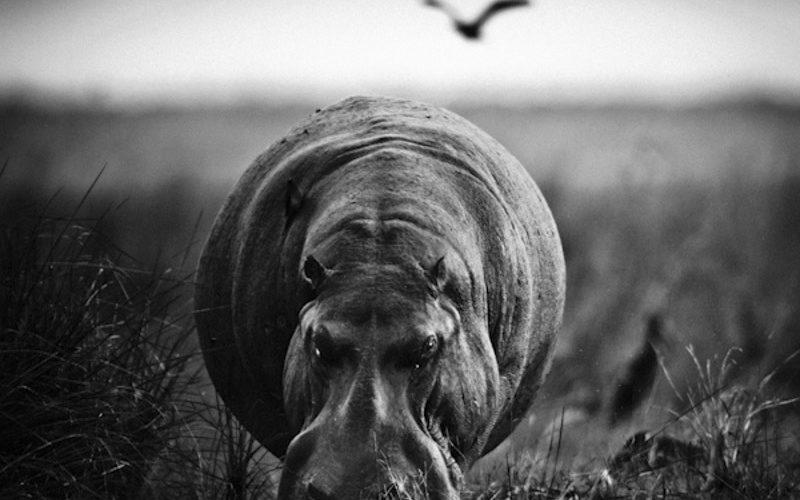 HIPPO-BAHEUX-3227