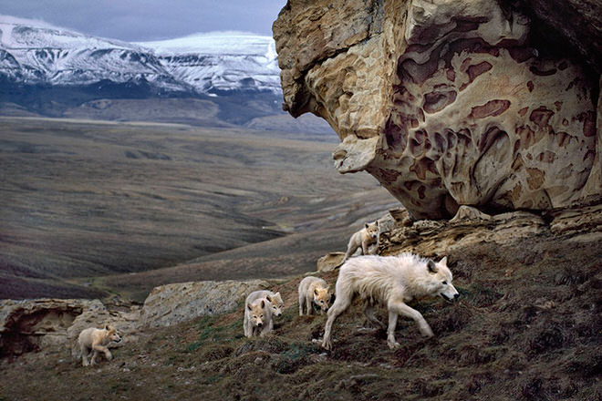 Jim_Brandenburg_Arctic_Wolves_M