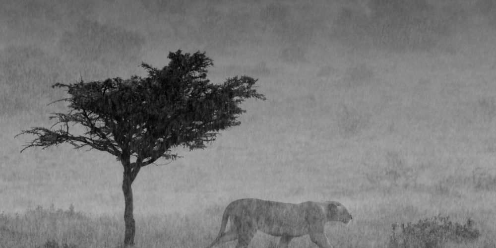Kaziras_African_Dream-It_s_raining_cats_and_lions