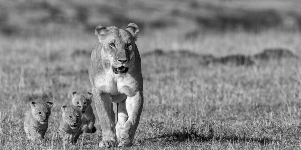Kaziras_African_Dream-lioness_with_3_cubs