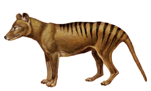 Loup Tasmanie