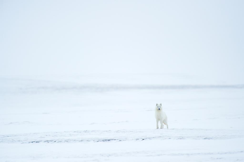 Loup arctique - Arctic wolf - Canis lupus arctos - Île de Banks