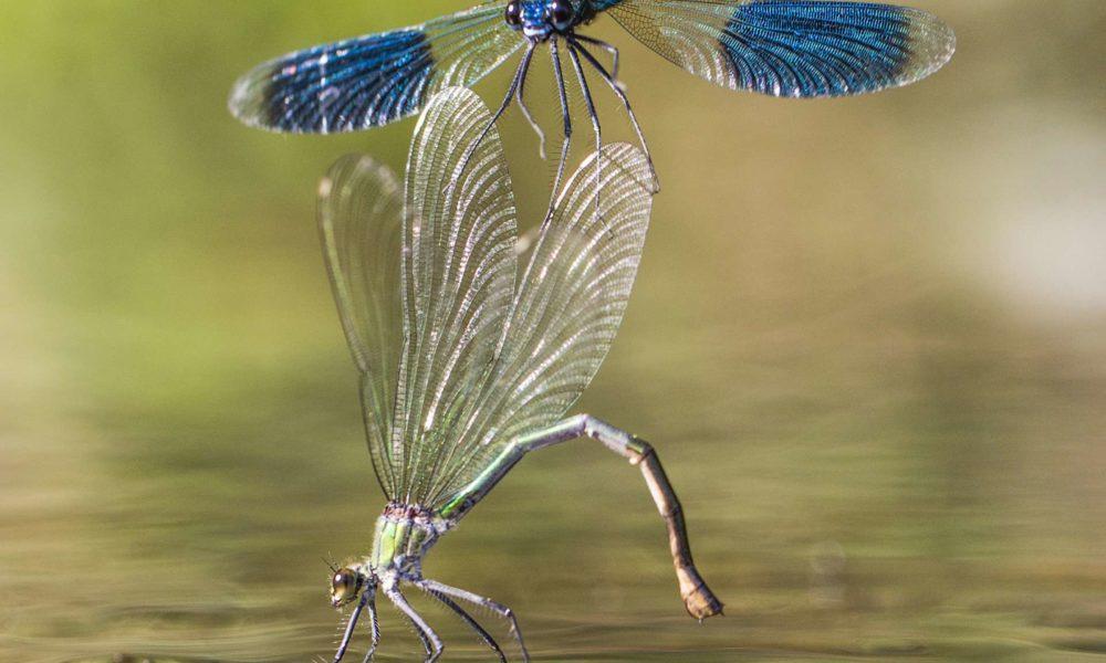 calopteryx-04