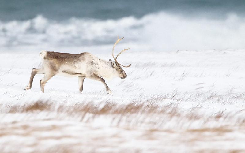 Reindeer in the snow TB3058