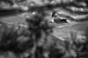 14_carolereboul_vautour
