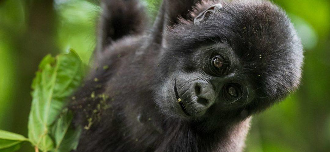 Gorille-6