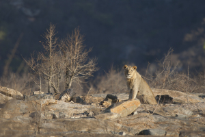 Lion (Panthera leo) / Lion