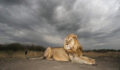 Gregoire-Bouguereau-lion