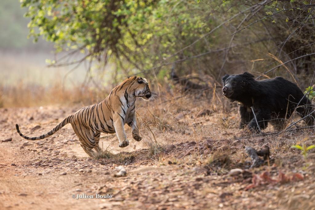 Tigre et ours lippu #3