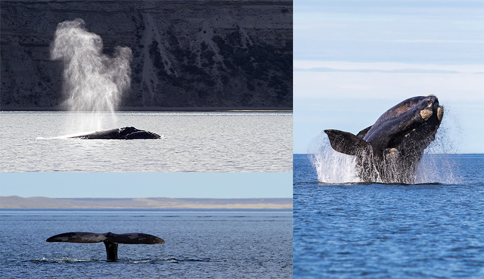 Baleine franche Austral (Eubalaena australis)