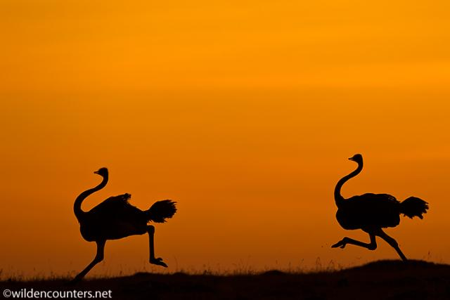 0224 - Ostriches running_ silhouetted at dawn_ Masai Mara_ Kenya