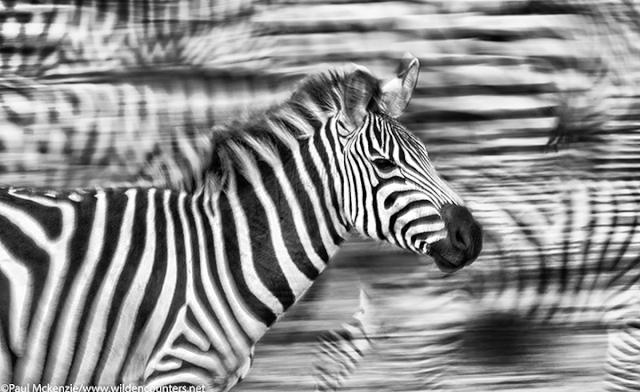 Zebra walking_ panning with motion_ Masai Mara_ Kenya