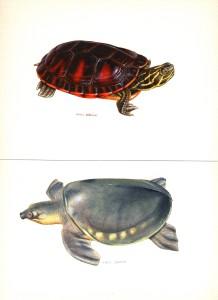 tortues aquarelles