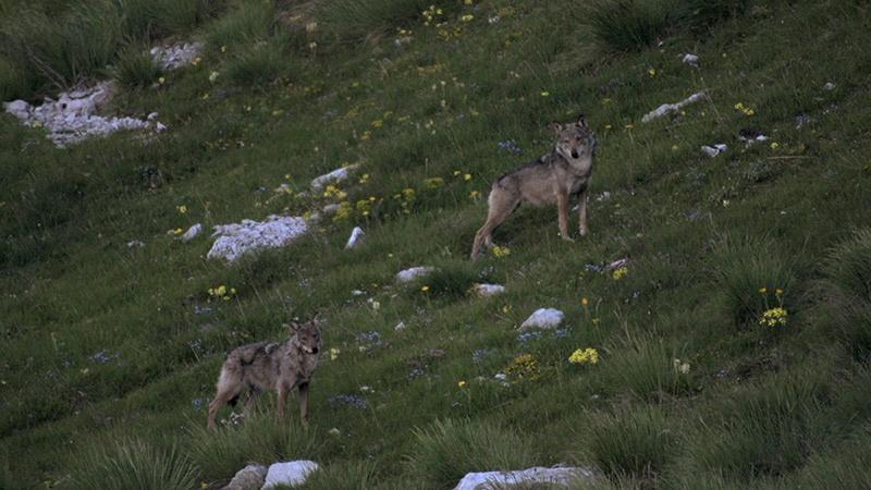 photo-loups-male-alpha-autre