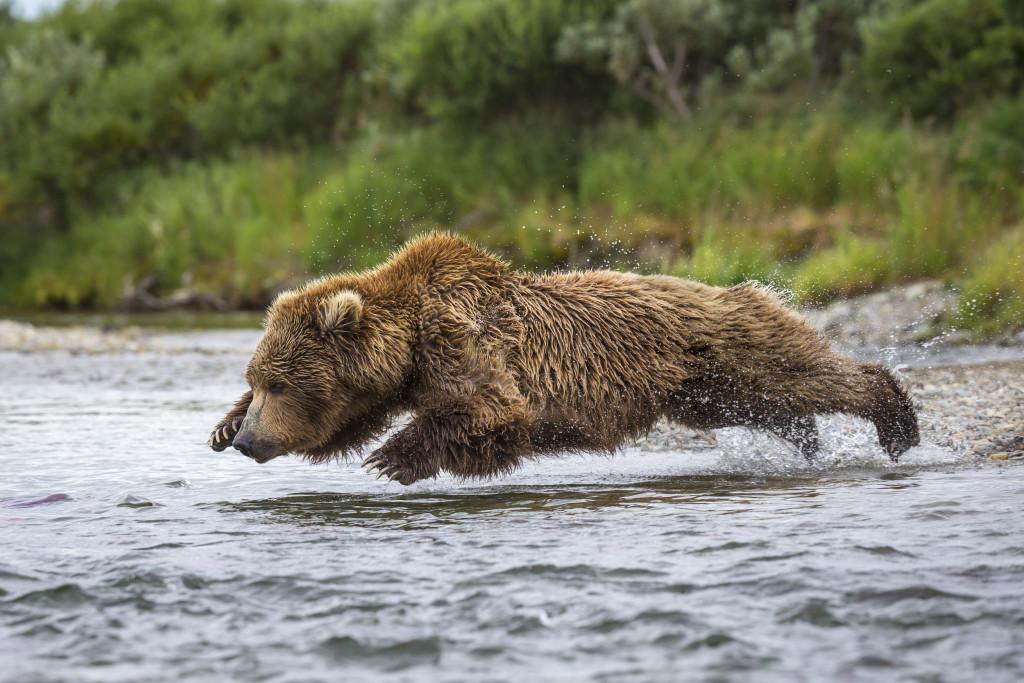 grizzli (Ursus arctos horribilis)