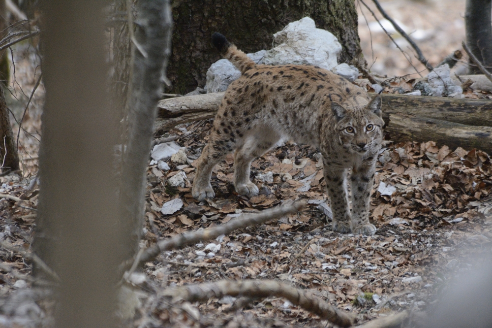 Lynx en danger ! (Premiers Romans) (French Edition)