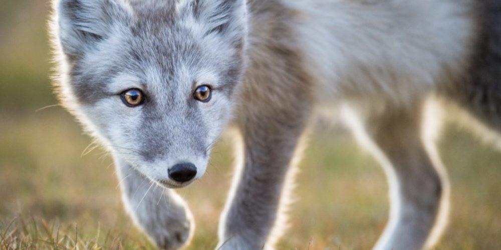 Ledoux renard polaire