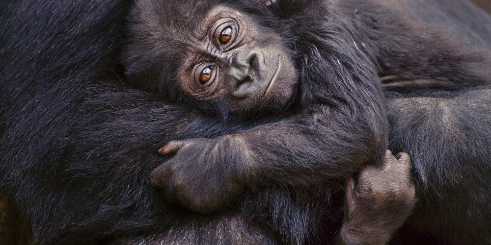 Eastern lowland gorilla infant, a young animal in its parent's arms, Gorilla gorilla graueri, Kahuzi Biega National Park, Congo, DRC, Democratic Republic of the Congo