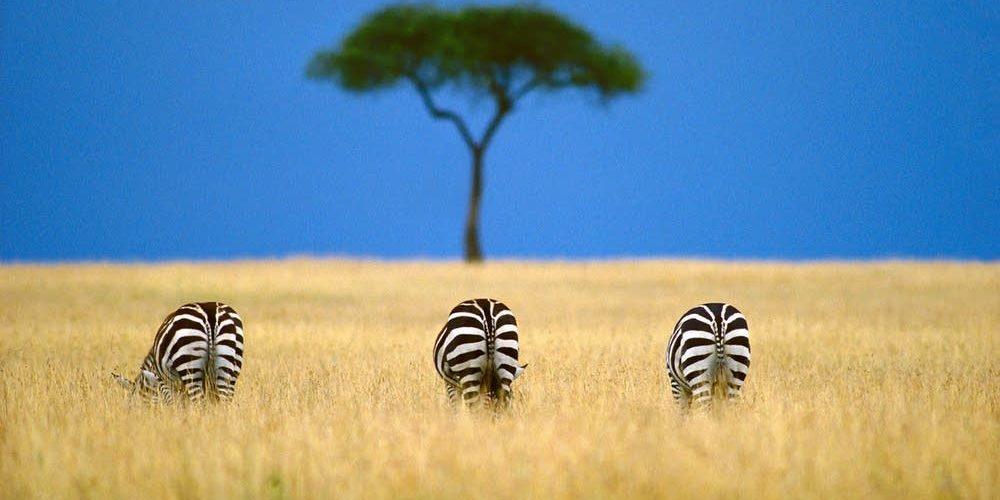 1ef323-20090319-zebra
