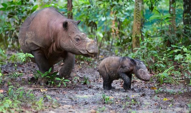 Rhino sumatra
