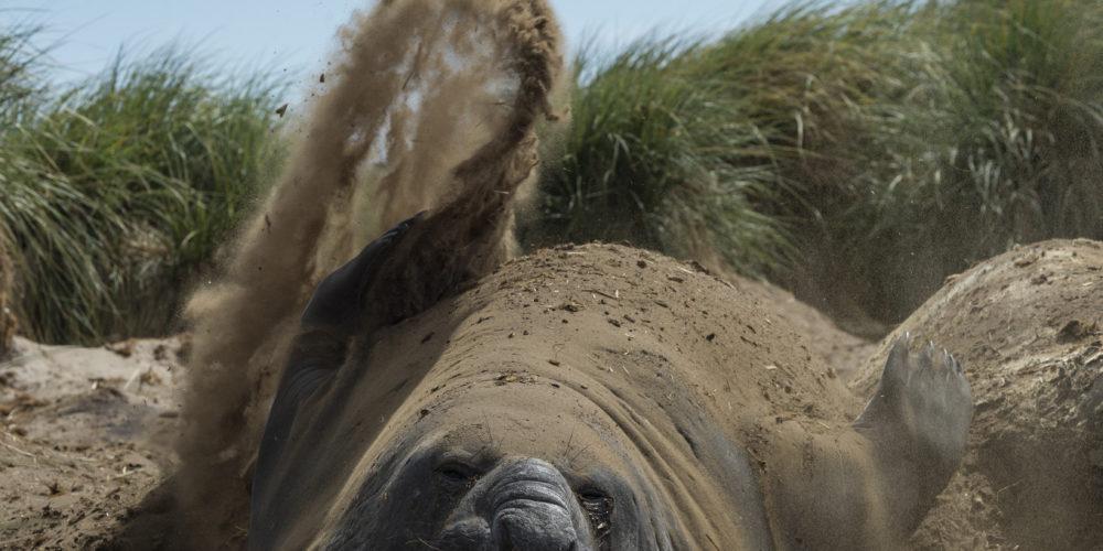 Eléphant de mer; Mirounga leonina; Souther elephant seal