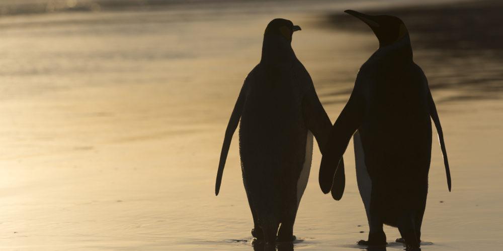 Manchot Royal; Aptenodytes patagonicus; king penguin