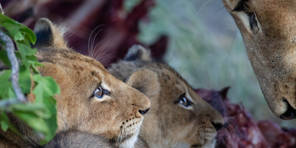 Daniel-Koen-Two-cubs-looking-at-their-mother-Sabi-Sands-2