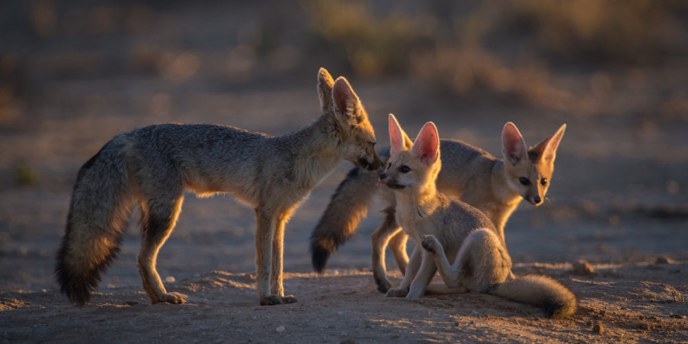 Late afternoon sunlight illuminates a Cape Fox mother and her two pups on the sandy river-bed of the Nossob. Kgalagadi Transfrontier Park, Northern Cape, South Africa