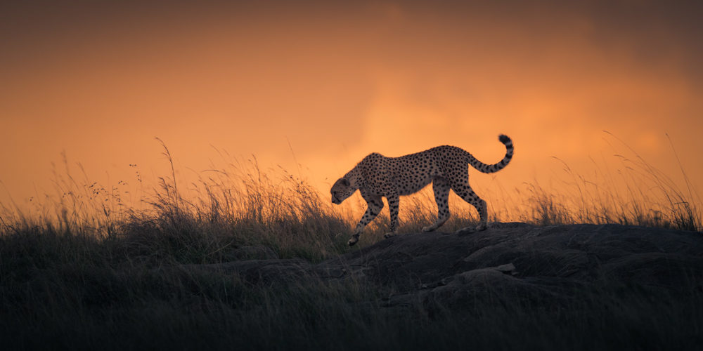During early evening just as the sun has set, a Cheetah walks across a rocky section on the Mara plains in search of a meal. Mara Triangle, Masai Mara, Kenya.