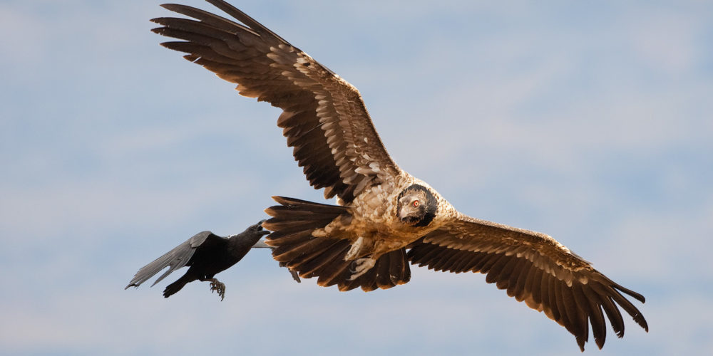 White-necked Ravens are very pesky birds to Raptors. Here, one tries to attack a Juvenile Bearded Vulture in mid-air. Giants Castle Nature Reserve, Kwazulu Natal, South Africa