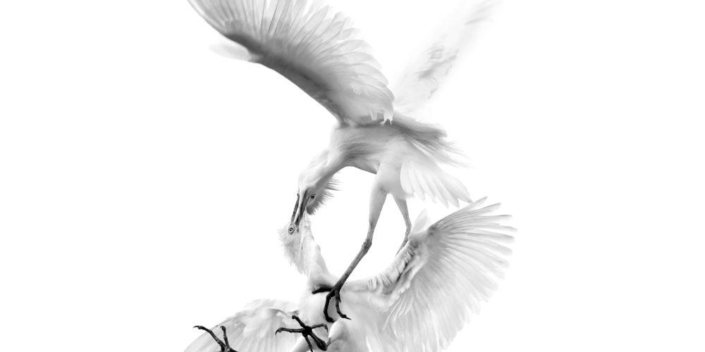 egrets1